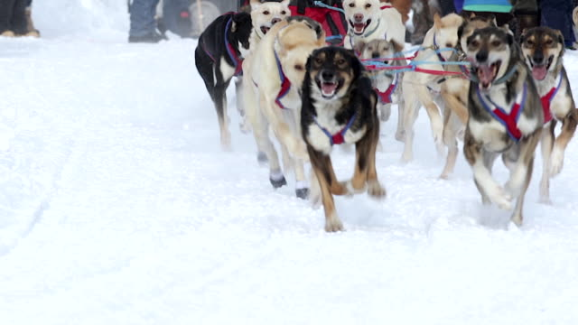 MS/SLOMO  shot of dog sled racing teams