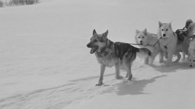 ms ts shot of dog team pulling sled through snow - husky stock videos & royalty-free footage