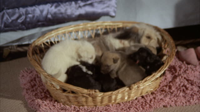 vidéos et rushes de ms zi shot of dogs and puppies / los angeles, california, united states - chiot