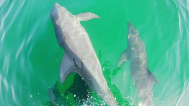WS Shot of dolphins from a boat