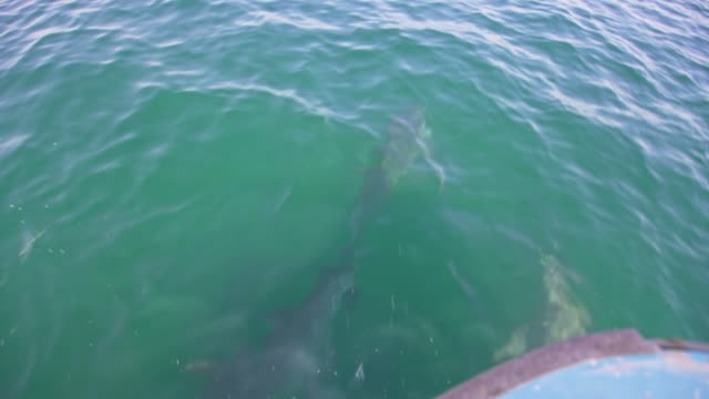 SLO MO Shot of dolphins from a boat