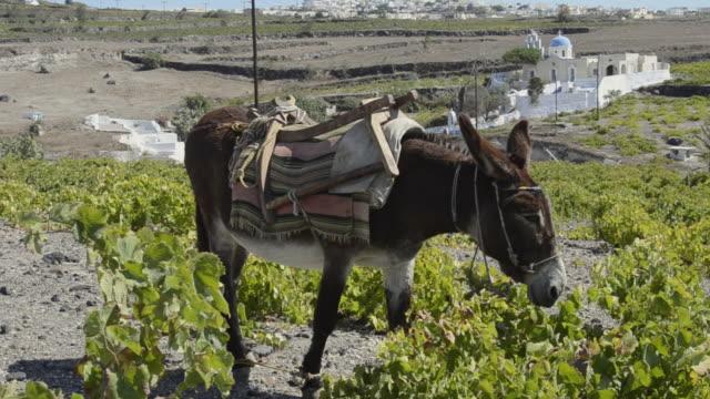 ms pan shot of donkey grazing in fields / pirgos, santorini, greece - arbetsdjur bildbanksvideor och videomaterial från bakom kulisserna