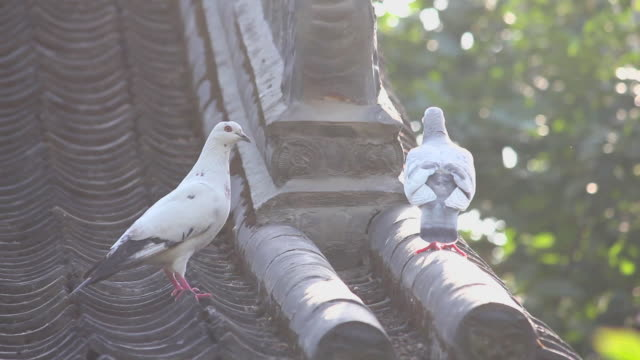 MS Shot of Dove on roof of temple / Xi'an, Shaanxi, China