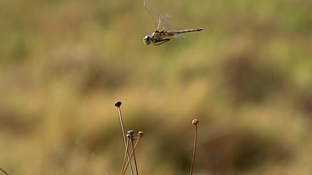 cu slo mo shot of dragonfly in flight, moremi reserve at okavango delta / moremi reserve, africa, botswana - dragonfly stock videos & royalty-free footage