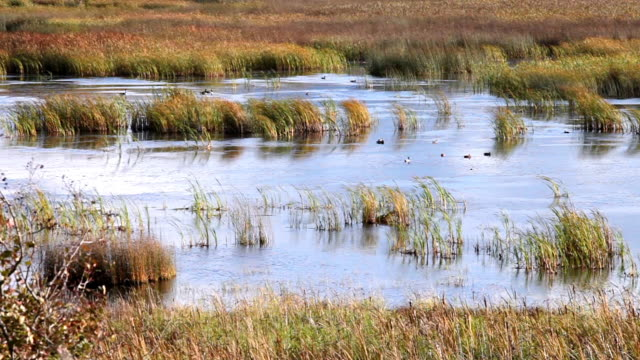 MS Shot of ducks on wetlands lake with wind blowing cattails / Bonners Ferry, Idaho, United States
