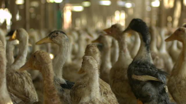 ms slo mo shot of ducks running in barn / elgouna, red sea, egypt - andfågel bildbanksvideor och videomaterial från bakom kulisserna