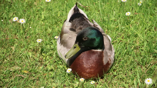 cu shot of ducks / weiskirchen, saarland, germany - ente wasservogel stock-videos und b-roll-filmmaterial