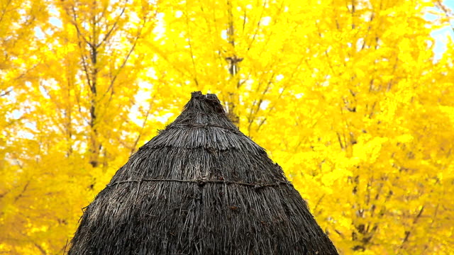 shot of dugout hut with ginkgo tree - dugout stock videos & royalty-free footage