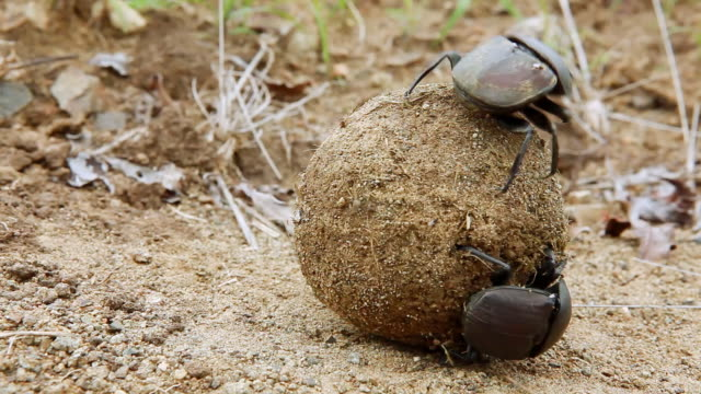 vídeos y material grabado en eventos de stock de cu shot of dung beetle rolling dung and another dung beetle / western cape, south africa - cabo winelands