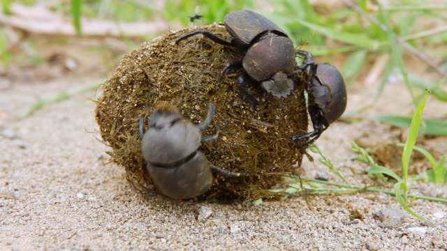 vídeos y material grabado en eventos de stock de cu shot of dung beetle trying to take dung from another ding beetle / western cape, south africa - cabo winelands