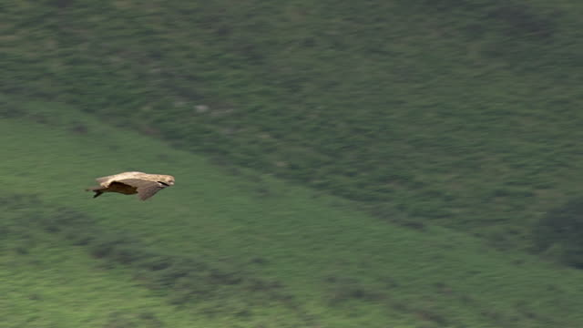 vidéos et rushes de cu aerial ts shot of eagle flying over vollage / midi pyrenees, france - aigle