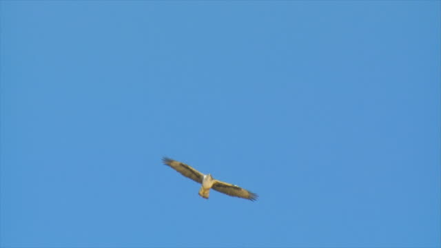 ms ts shot of eagle of bonelli  (aquila fasciata) soaring over mountainside in sky / sde boker, negev desert, israel - aquila video stock e b–roll