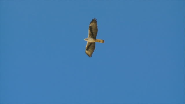 vidéos et rushes de ms ts shot of eagle of bonelli  (aquila fasciata) soaring over mountainside / sde boker, negev desert, israel - aigle