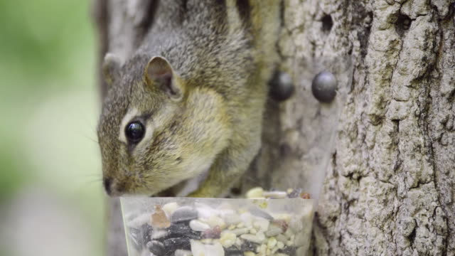 cu shot of eastern chipmunk (tamius striatus) gathers seeds and peanut pieces from a cup attached to tree / valparaiso, indiana, united states  - tamia striato video stock e b–roll
