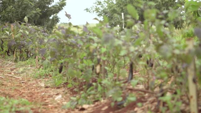 ms r/f shot of eggplant vegetation / oahu, hawaii, united states - aubergine stock videos & royalty-free footage
