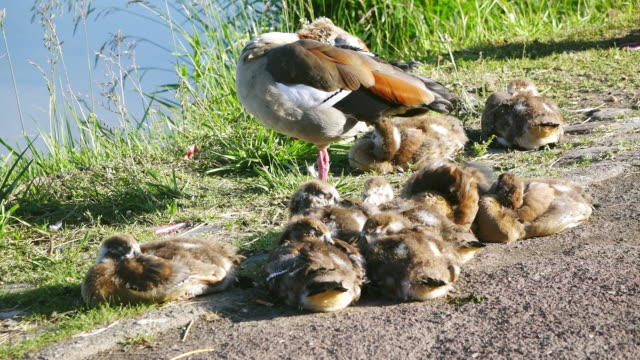 ms shot of egyptian goose (alopochen) with chicken, moselle valley / bernkastel kuesl, rhineland palatinate, germany - young bird stock videos & royalty-free footage