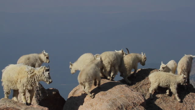 MS  shot of eight rocky mountain goat kids (Oreamnos americanus) playing and jumping on the boulders at 14000'