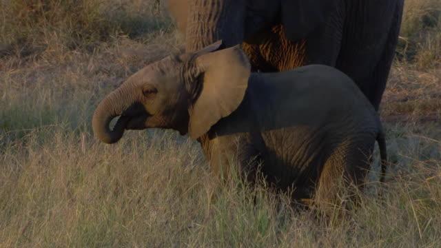 vidéos et rushes de ms shot of elephant calf standing by mother, trunk in air, pilanesberg game reserve / north west province, south africa - éléphanteau