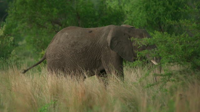 MS R/F Shot of  Elephant grazing in tall grass / Pilanesberg, Gauteng, South Africa