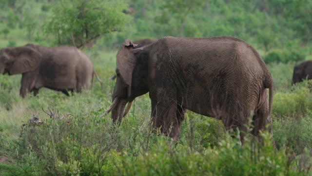vidéos et rushes de ms shot of  elephant grazing / pilanesberg, gauteng, south africa - éléphanteau
