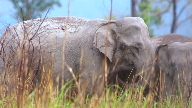 """ms shot of elephant herd / assam, golaghat, india"" - elephant stock videos & royalty-free footage"