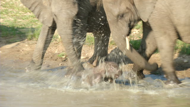 MS ZI Shot of Elephant herd at waterhole with baby falls over and is rescued by two adults / Hoedspruit, Mpumalanga, South Africa