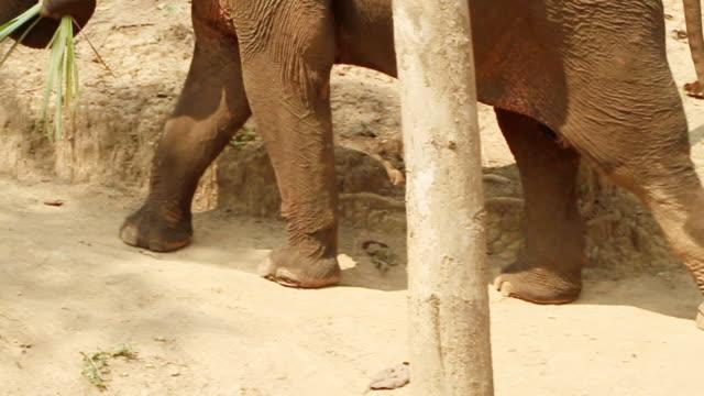 vidéos et rushes de ms ts slo mo shot of elephant walking holding leaves with its trunk and man on its back / elephant park near luang prabang, luang prabang, laos - nez d'animal