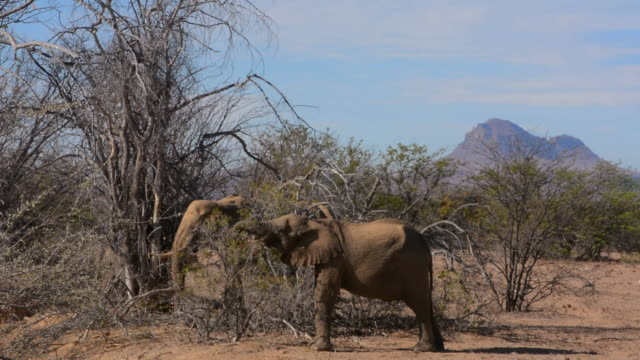 vidéos et rushes de ms shot of elephants at river called aba huab river in dry desert / uibasen conservacy, namibia, south africa - petit groupe d'animaux