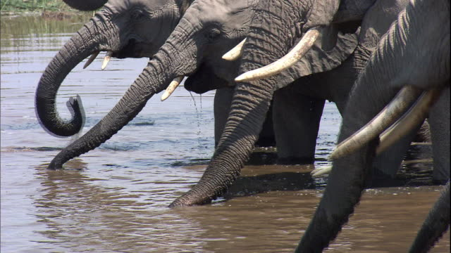 shot of elephants drinking water - elephant stock videos & royalty-free footage