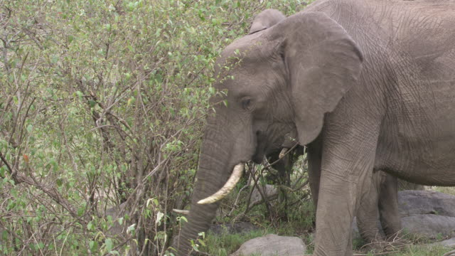 stockvideo's en b-roll-footage met ms shot of  elephants eating  / tanzania - kleine groep dieren