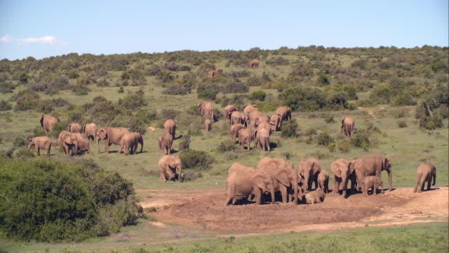 WS Shot of Elephants (Loxodonta africana) in savannah / Addo Elephant National Park, Eastern Cape, South Africa