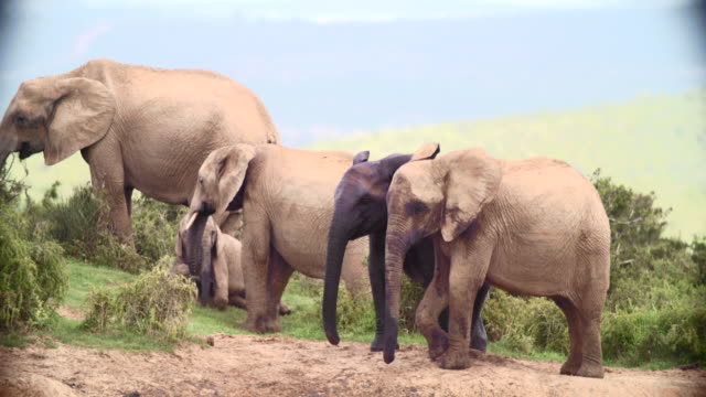 ms pan r/f shot of elephants (loxodonta africana) in savannah / addo elephant national park, eastern cape, south africa - cinque animali video stock e b–roll