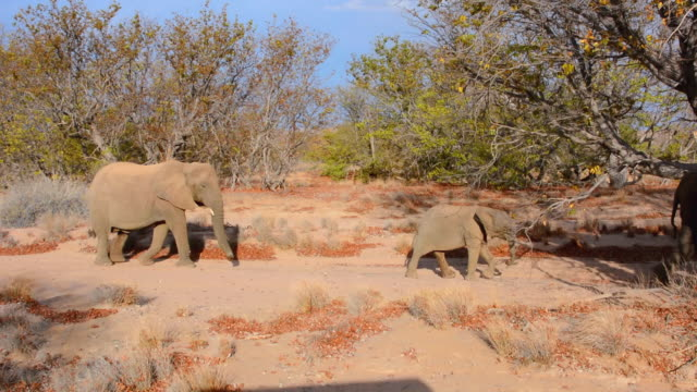 vidéos et rushes de ms shot of elephants walking in dry desert / uibasen conservacy, namibia, south africa - petit groupe d'animaux