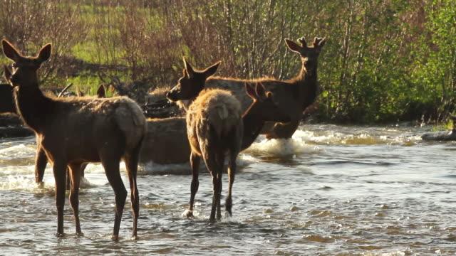 vídeos y material grabado en eventos de stock de ms shot of elk crossing river at sunrise backlit / estes park, colorado, united states - cruzar