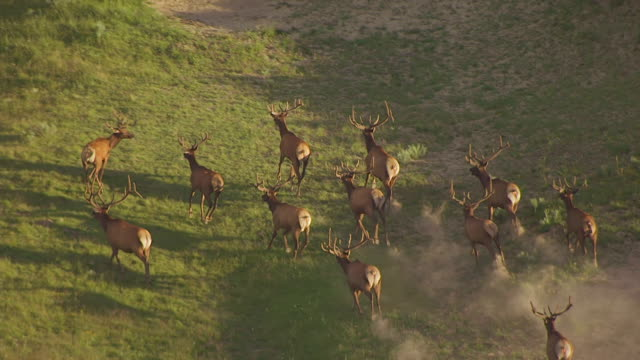 CU AERIAL TS ZO Shot of Elk running and pull out to surrounding area in Hayden Valley in Yellowstone National Park / Wyoming, United States