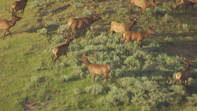 MS AERIAL TS ZO Shot of Elk running in Hayden Valley in Yellowstone National Park / Wyoming, United States