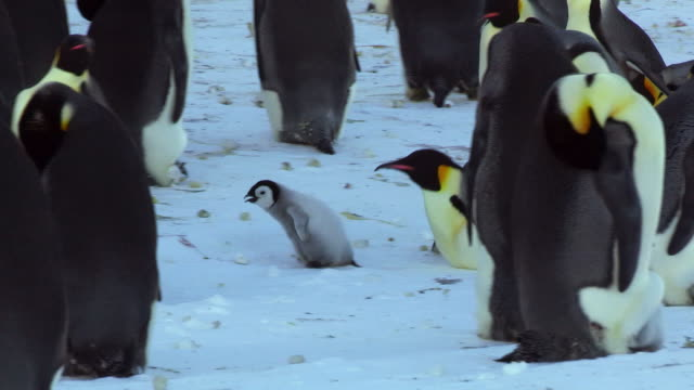 stockvideo's en b-roll-footage met ms pan shot of emperor penguin chick being chased through colony by adults in snow / dumont d'urville station, adelie land, antarctica - steel