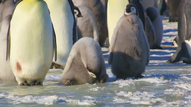 """ms ts shot of emperor penguin chick in colony standing on ice and struggling to stand up / dumont d'urville station, adelie land, antarctica"" - animals in the wild stock videos & royalty-free footage"