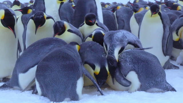 CU ZO Shot of Emperor penguin chick on feet of parent in snow parent covers squabble over chick / Dumont D'Urville Station, Adelie Land, Antarctica