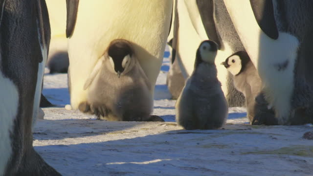 """ms shot of emperor penguin chick on parents feet as adult walking forward trying to shake it off and finally succeeds  / dumont d'urville station, adelie land, antarctica"" - animals in the wild stock videos & royalty-free footage"