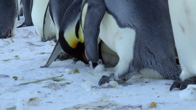 stockvideo's en b-roll-footage met cu ts shot of emperor penguin chick with adults attacking with beaks / dumont d'urville station, adelie land, antarctica - steel
