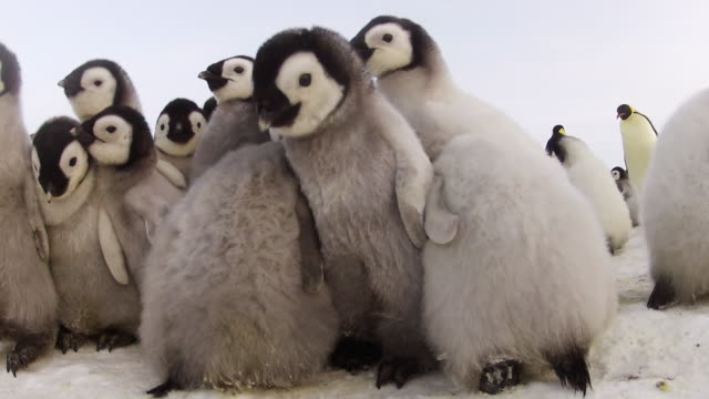 ms la shot of emperor penguin chicks in huddle on icy ground / dumont d'urville station, adelie land, antarctica - group of animals stock videos & royalty-free footage