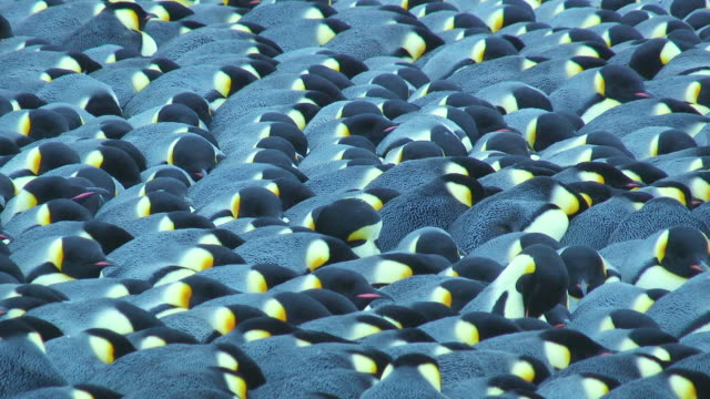 ms t/l shot of emperor penguin colony massed huddle pack together then breaking as penguins preen / dumont d'urville station, adelie land, antarctica  - large group of animals stock videos and b-roll footage