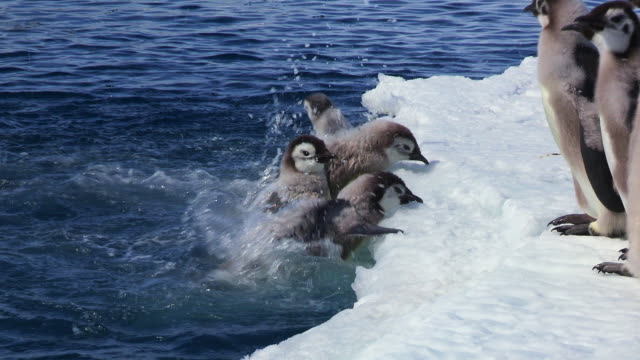 cu zo shot of emperor penguin fledgling chick and adult feathers struggles to get out of water and back onto ice / dumont d'urville station, adelie land, antarctica - large group of animals stock videos and b-roll footage