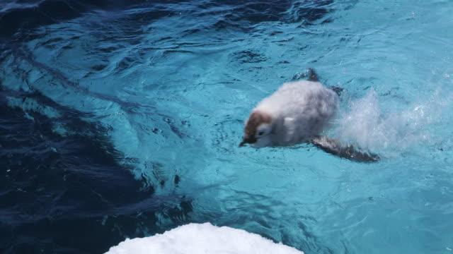 vidéos et rushes de ms pan shot of emperor penguin fledgling chicks dives into sea and swimming around / dumont d'urville station, adelie land, antarctica - groupe moyen d'animaux