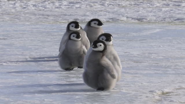 ms zo ts zi shot of emperor penguin (aptenodytes forsteri) group of five chicks approaching, walking and sliding on ice and stopping, and looking out to sides / snow hill, antarctica - penguin stock videos & royalty-free footage