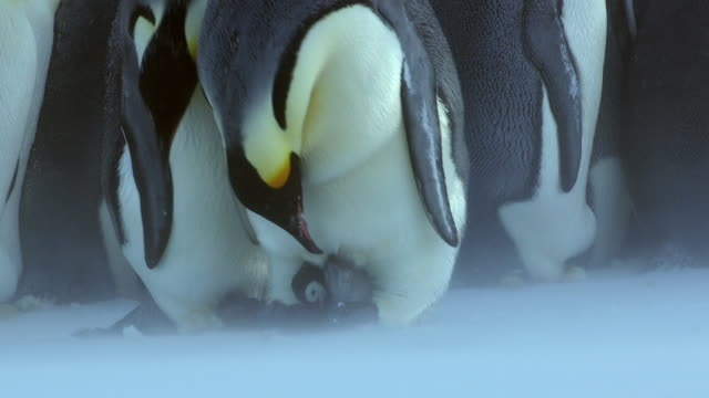 ms tu td shot of emperor penguin in light blizzard reveals chick for mate to take over care to group of penguins as pair interact / dumont d'urville station, adelie land, antarctica - jungvogel stock-videos und b-roll-filmmaterial