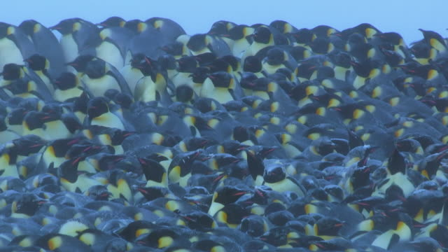 ms shot of emperor penguin massed huddle with backs locked together and sprinkled with snow penguins move round with break up huddle / dumon d urville station, adleie land, antarctica  - large group of animals stock-videos und b-roll-filmmaterial