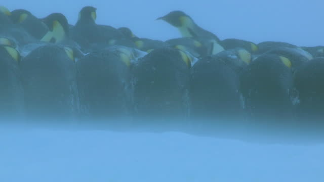 ms shot of emperor penguin massed huddle with backs locked together in heavy snow and blizzard / dumon d urville station, adleie land, antarctica  - antarctica penguins stock videos & royalty-free footage