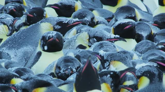 cu shot of emperor penguin massed huddle with individual penguins shaking snow off after blizzard / dumon d urville station, adleie land, antarctica - emperor penguin stock videos & royalty-free footage